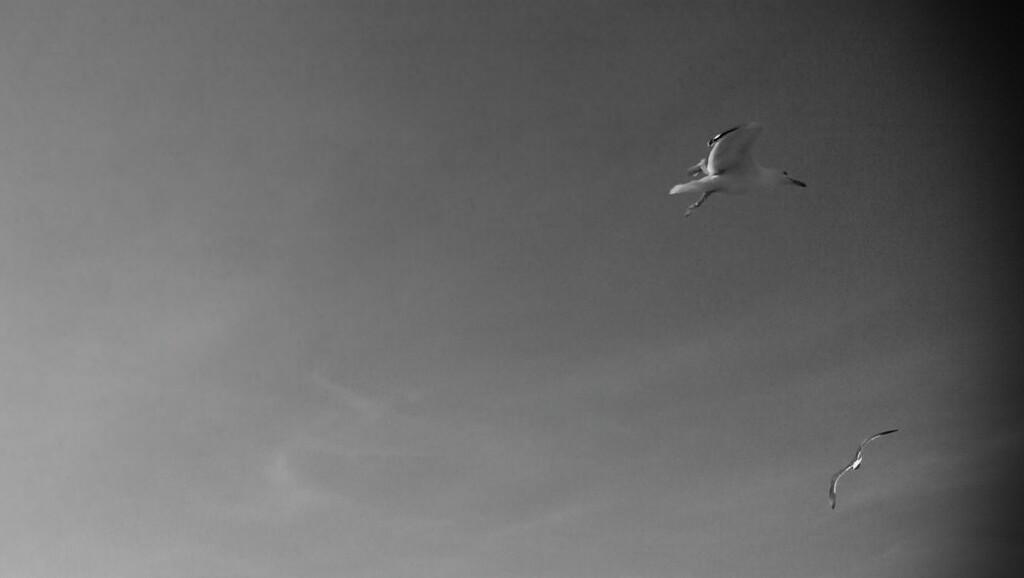 Edinburgh_gulls