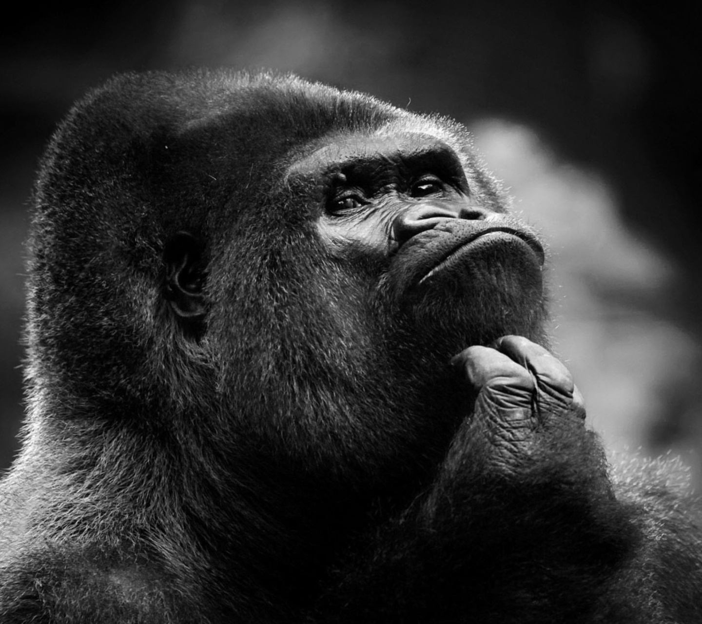 gorilla_pensando-wallpaper-10039419