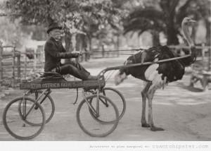foto-antigua-hipster-carro-tirado-avestruz