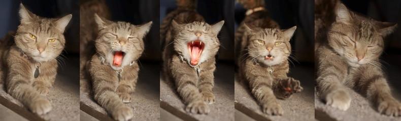 gato-bostezando